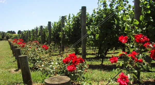Roses Protectors Of The Grape Vines