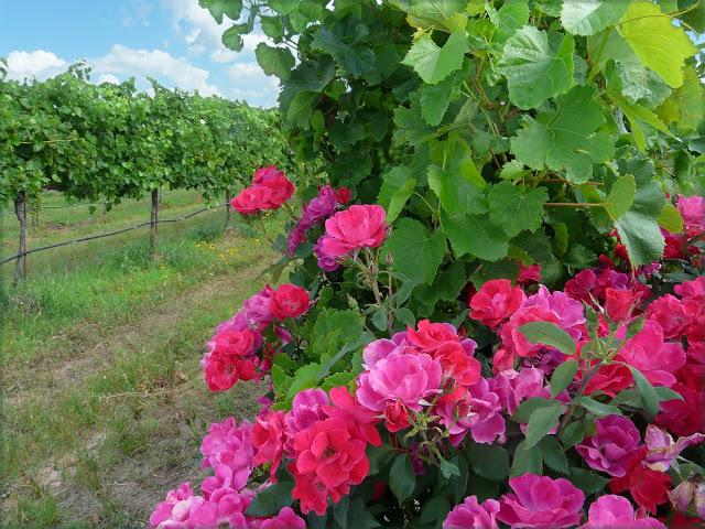 Vineyard Roses 10