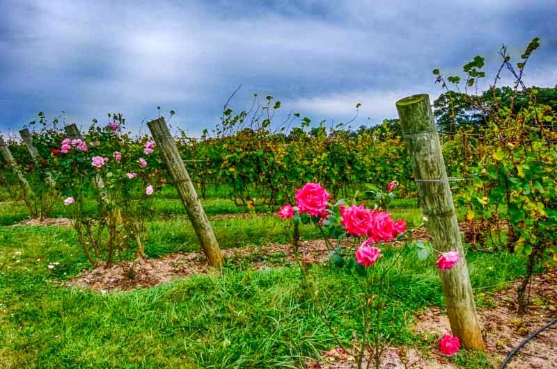 Vineyard Roses 2