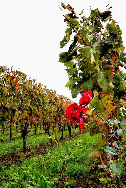 Vineyard Roses 5