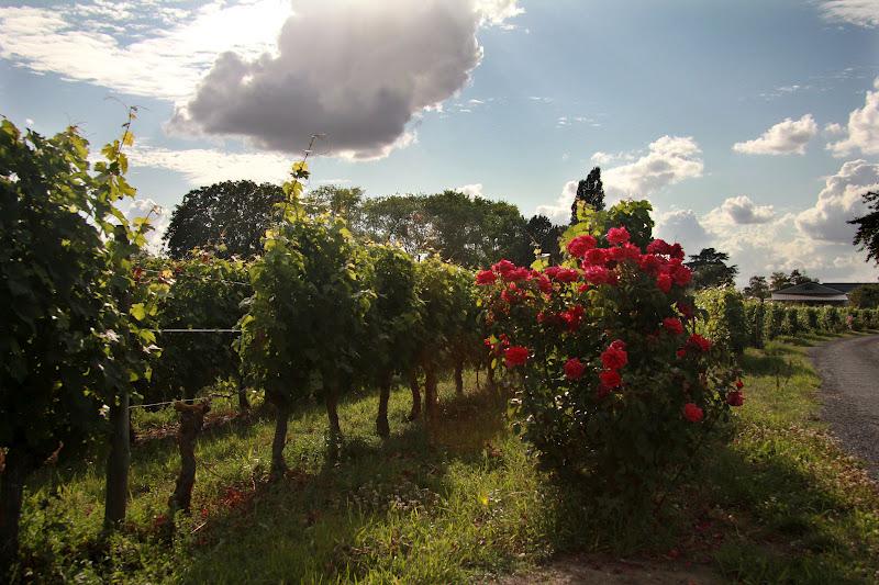 Vineyard Roses 6