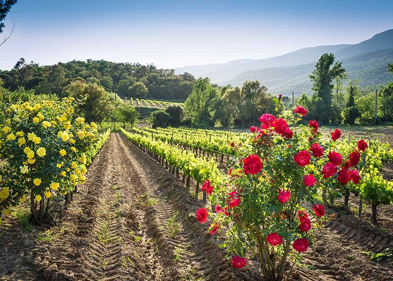 Vineyard Roses 7