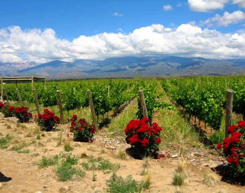 Vineyard Roses 8