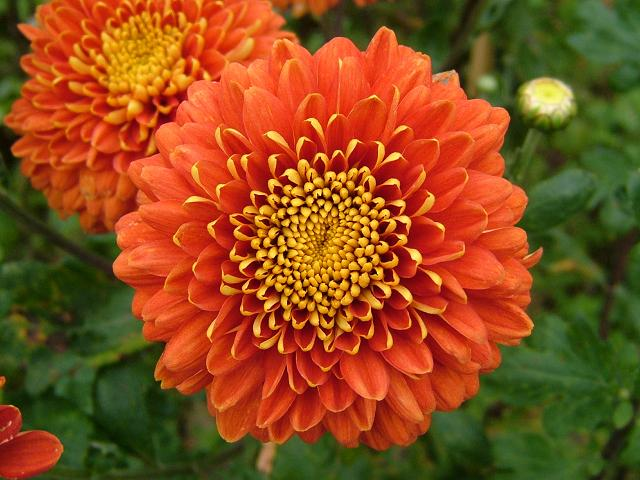 ChrysanthemumSign