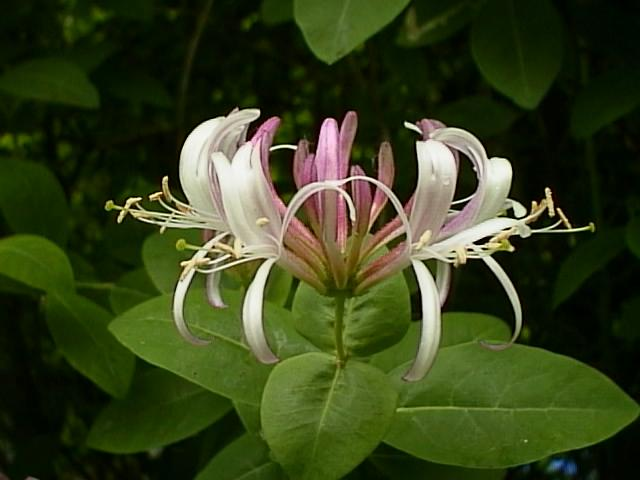 HoneysuckleSign