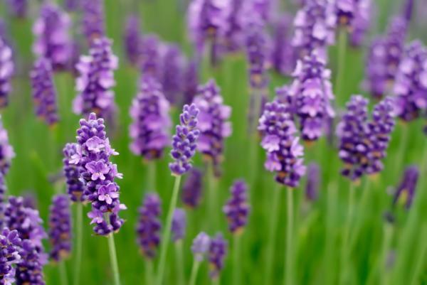 LavenderSign