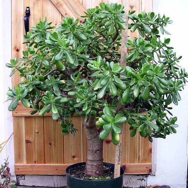 Money Tree 3