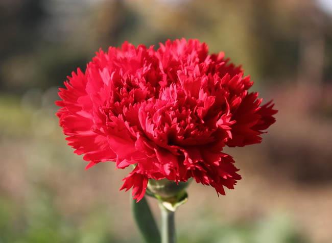 Q_Carnation