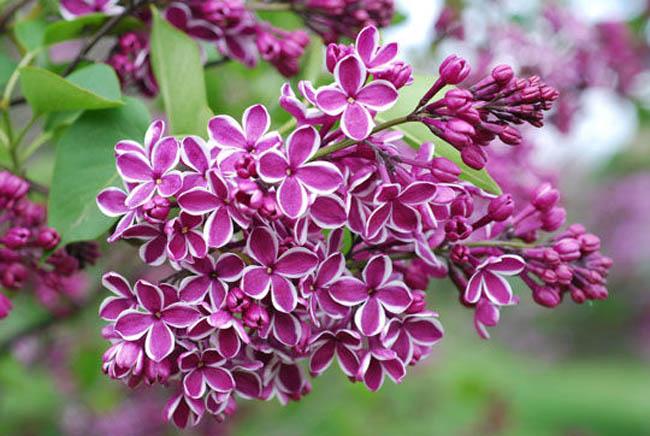 Q_Lilac
