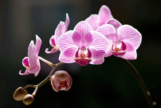Q_Orchid