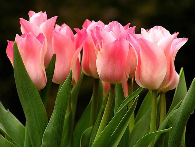 Q_Tulip