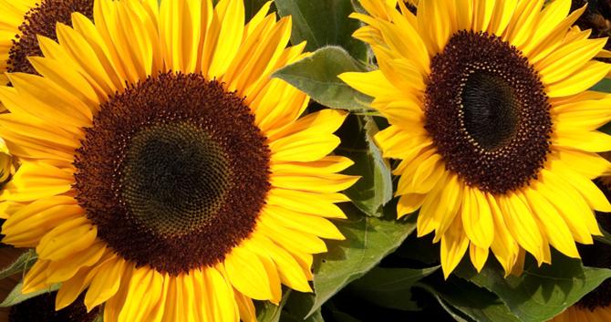 SunflowerSign