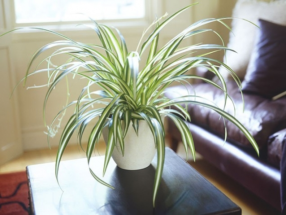 spider-plant-2