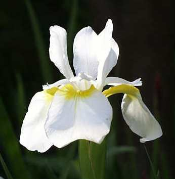 whiteiris