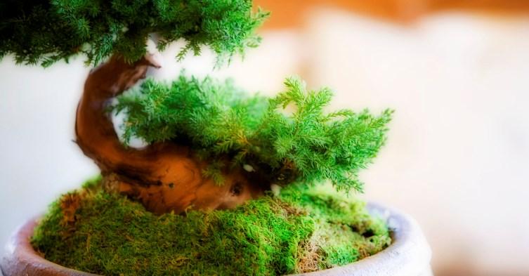Bonsai-plant