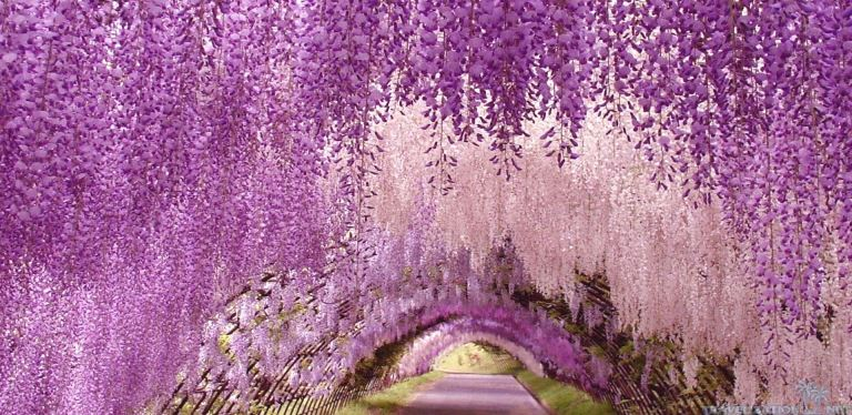 ashikaga-flower-park-1