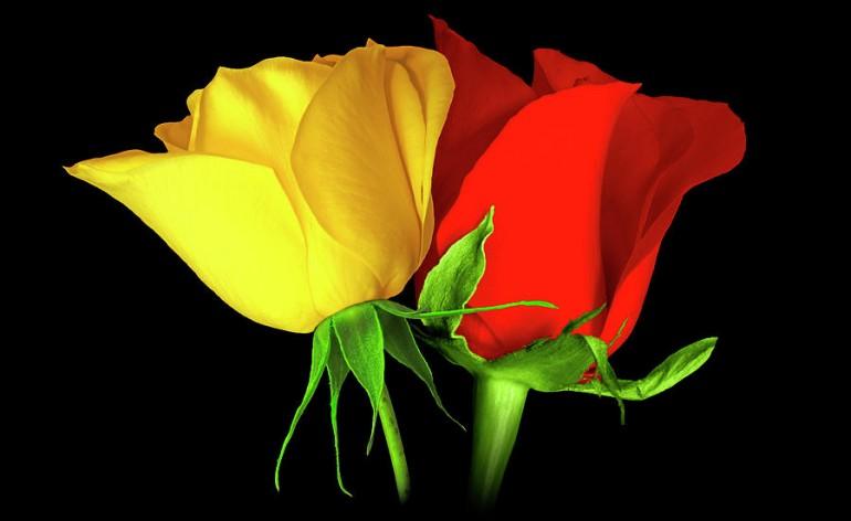 RosesColors