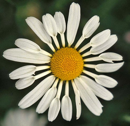 quilled daisy