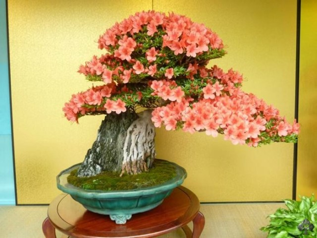 amazing flowering and fruitbearing bonsai trees