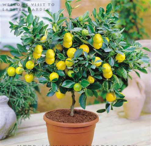 20Pcs-Garden-plants-With-Instructions-Bonsai-Lemon-Tree-Seeds-High-survival-Rate-Fruit-Tree-Seeds-For