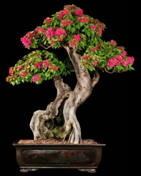 pixie-bougainvillea-flowering-bonsai-tree