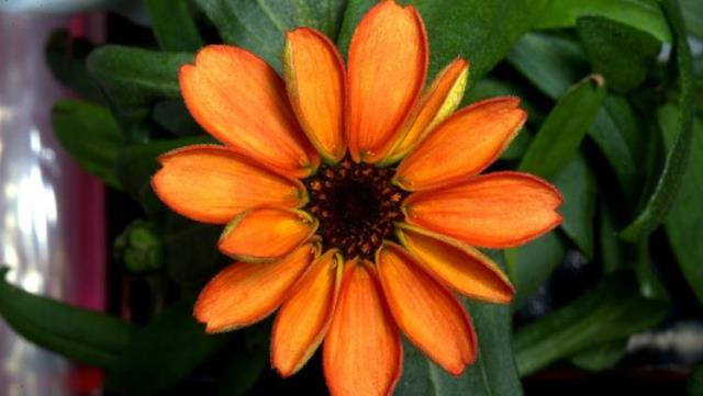 Zinnia Space Flower