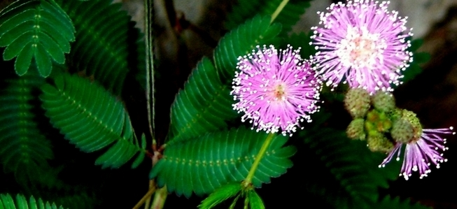 mimosa pudica 1