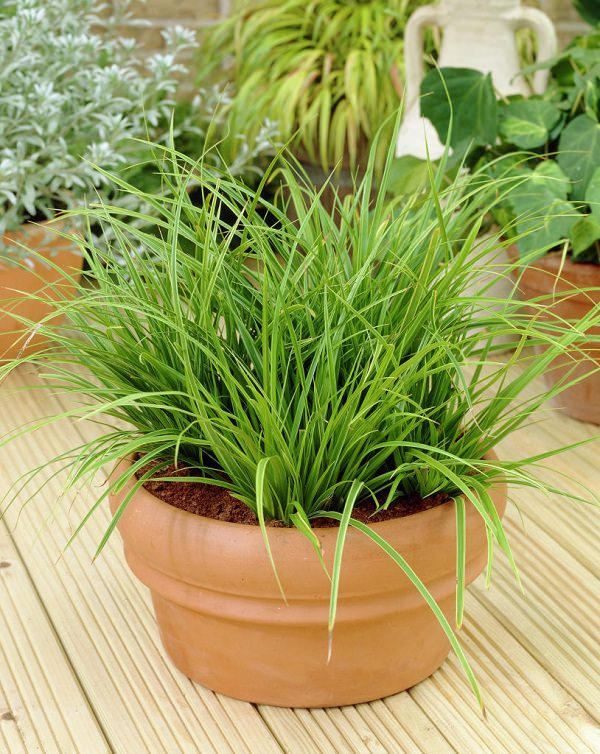 12 best plants that can grow indoors without sunlight for Can ornamental grasses grow in shade