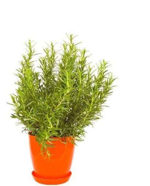 Rosemaryplant