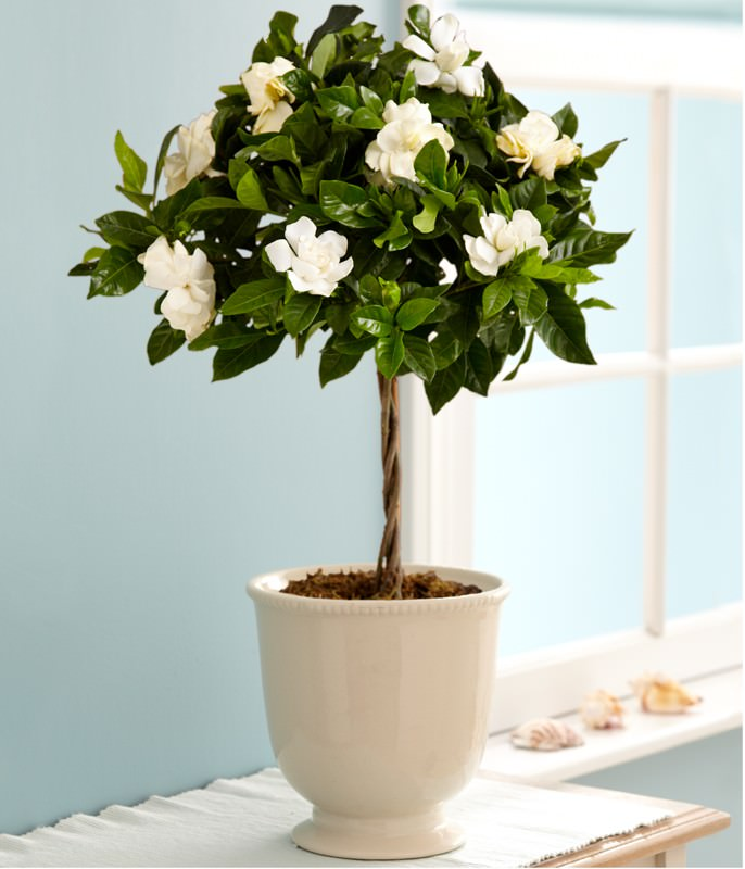 growing-gardenia-in-pots