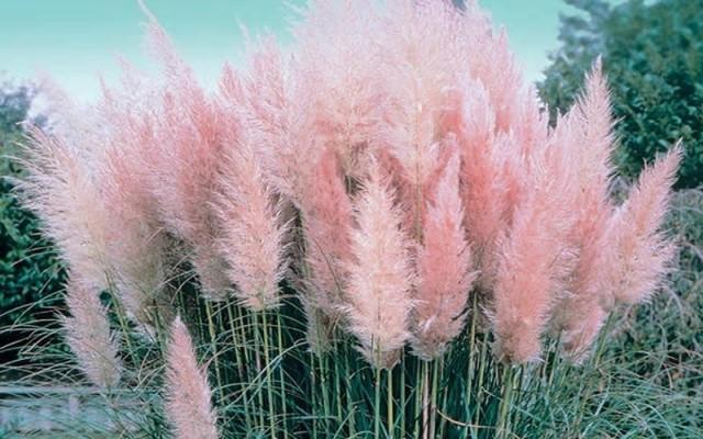 Pampas Grass 6