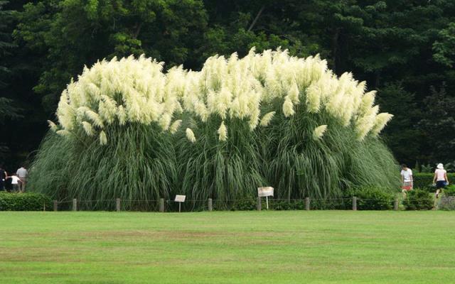 Pampas Grass 7