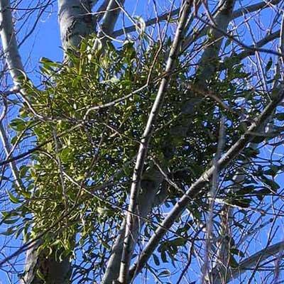 10-Mistletoe