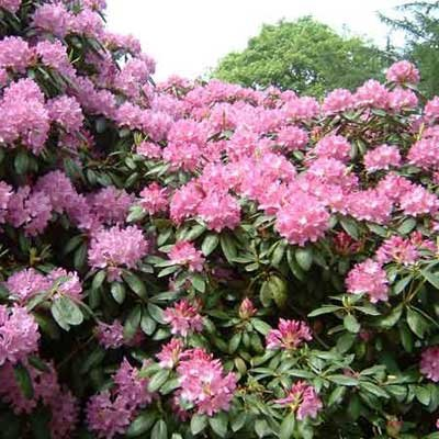 3-Rhododendron