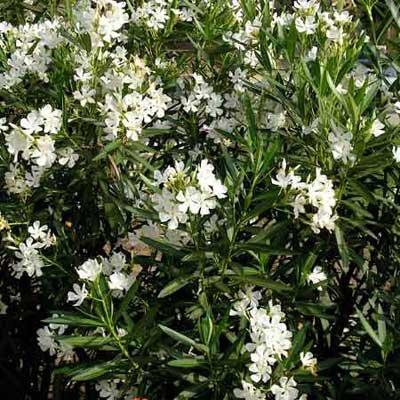 5-Oleander