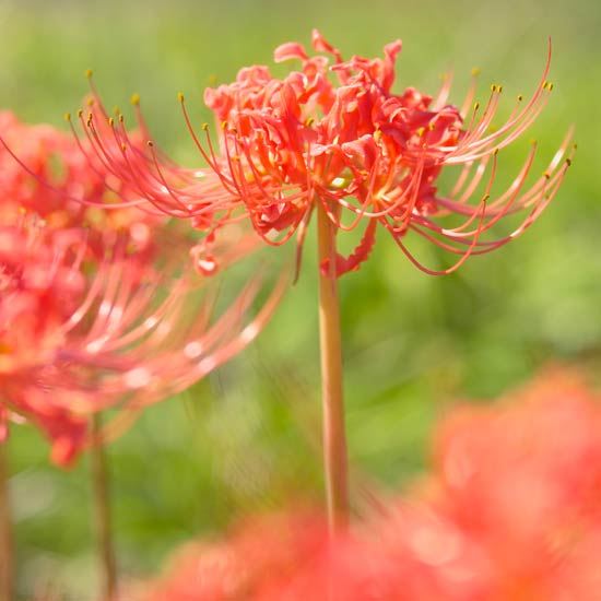 Aut Red Spider Lily