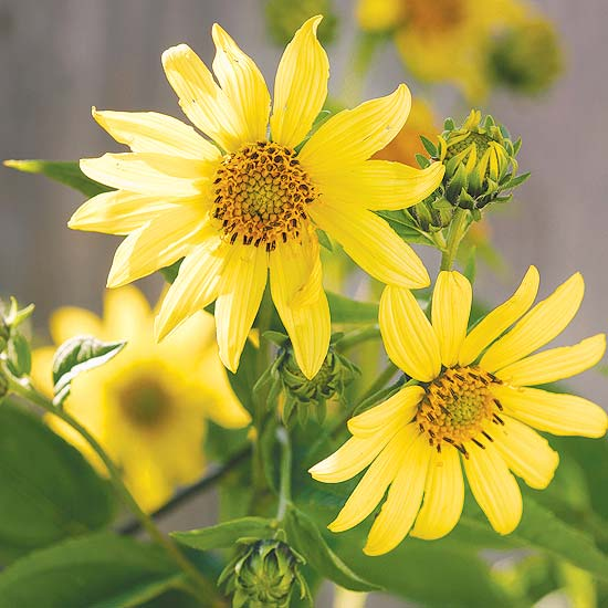 Aut Sunflower