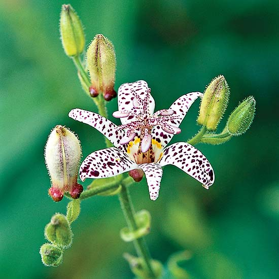 Aut Toad Lilly