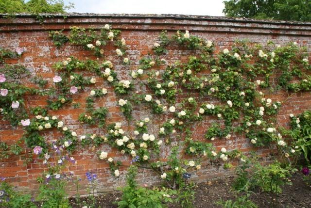 Climbing Roses 10