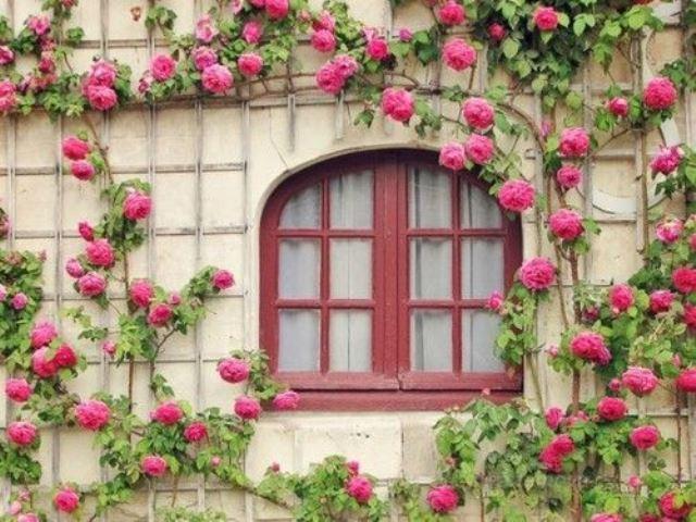 Climbing Roses 12