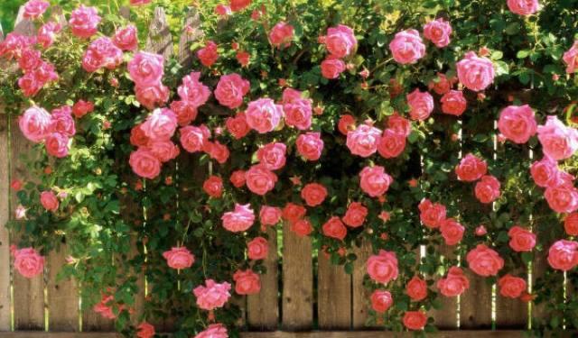 Climbing Roses 4