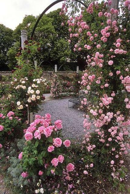 Climbing Roses 9