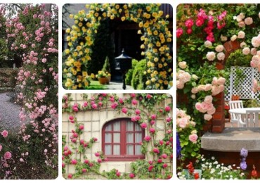 Climbing Roses Feat