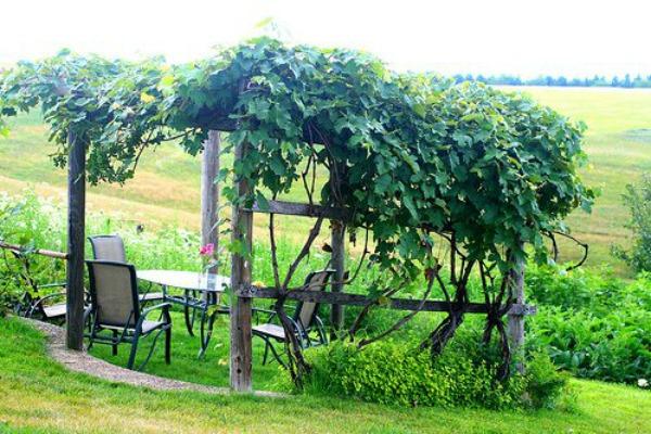 Grape Vine 12