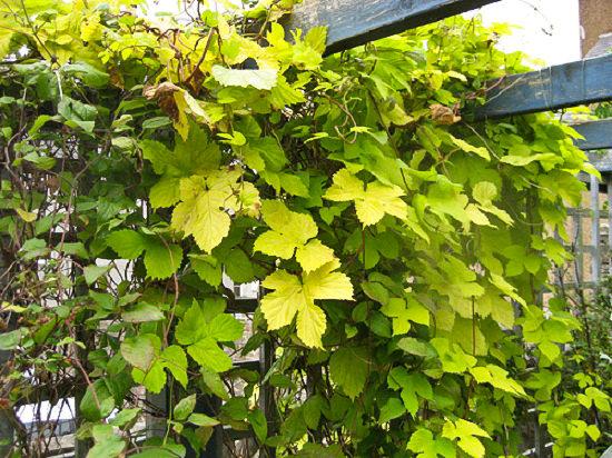 pergola-plants-14