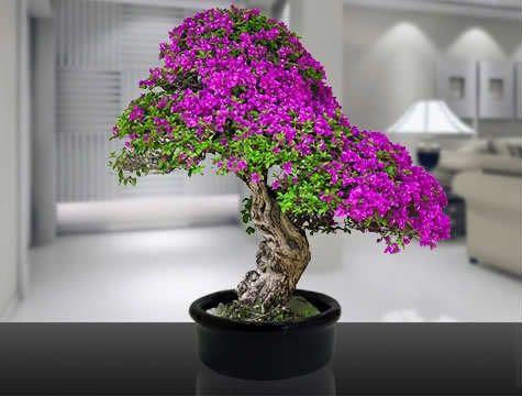 judas-tree-5