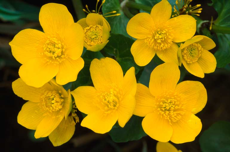 marsh_marigold_thumb5