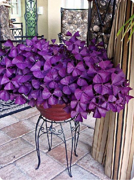 purpleclover-1