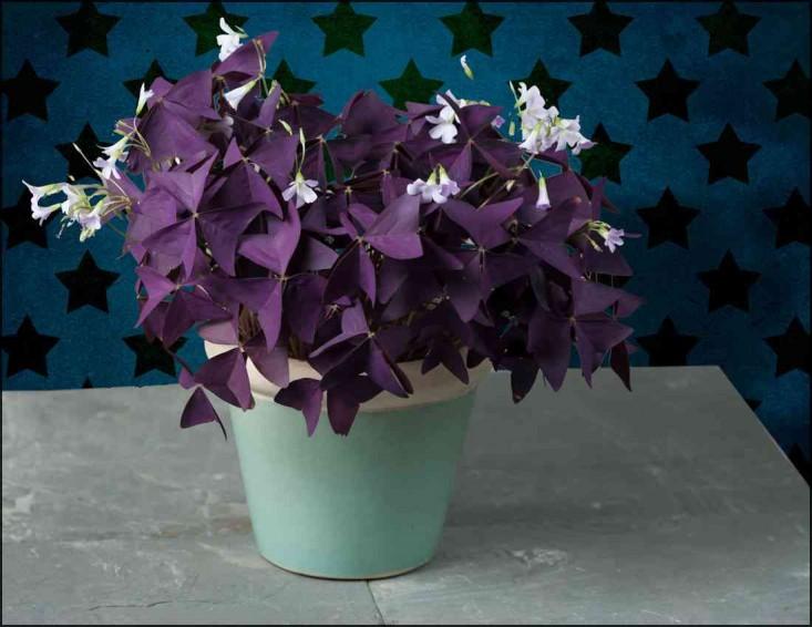 purpleclover-2