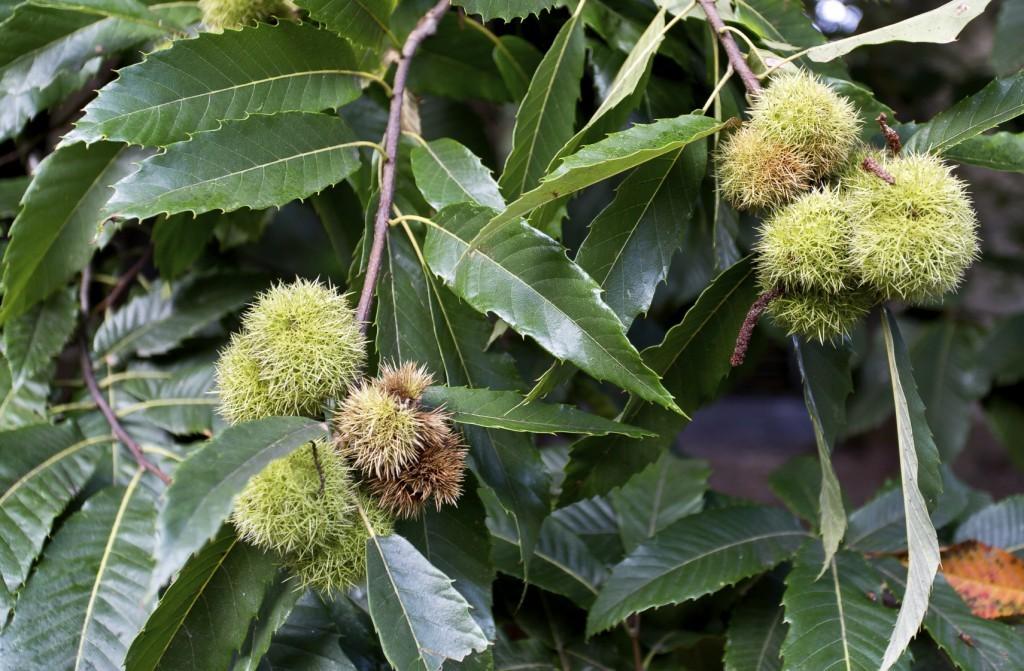 chestnut-tree-1024x671